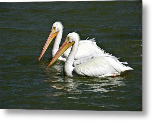 White Pelicans Metal Print by Rodney Cammauf