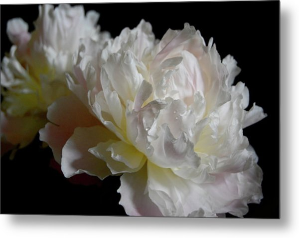 White Peonies Metal Print by David Rothmiller