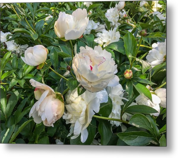 White Peonies In North Carolina Metal Print