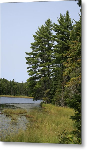 White Pines Metal Print by Alan Rutherford