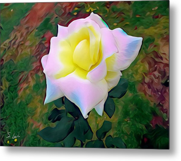 White Rose 02 ...22.54 Photograph Picture Metal Print