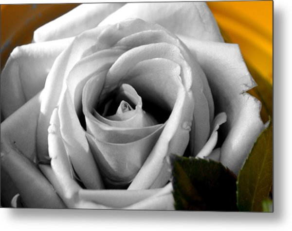 White Rose 2 Metal Print