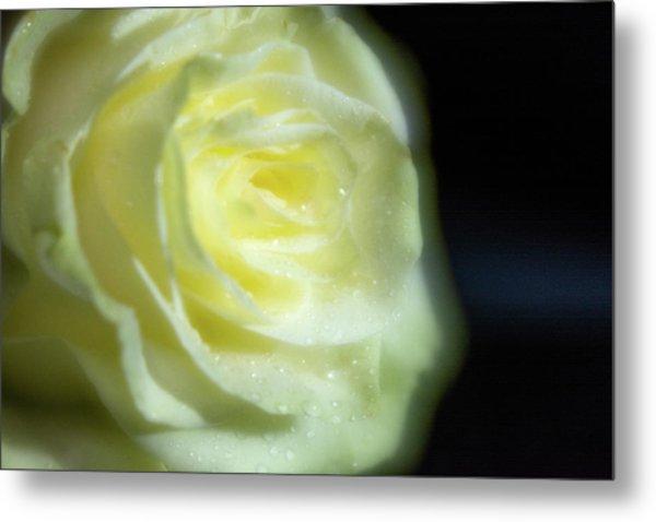 White Rose 4 Soft Metal Print