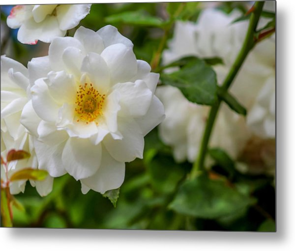 Metal Print featuring the photograph White Rose by Alison Frank