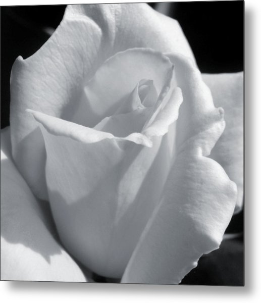 White Rose Metal Print by JAMART Photography
