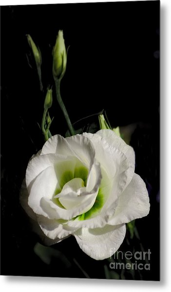 White Rose On Black Metal Print
