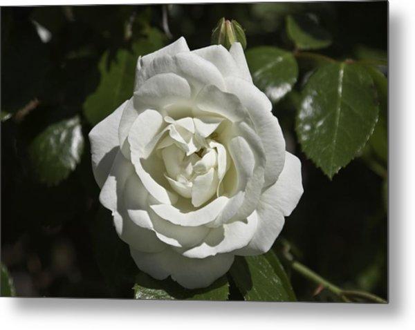 White Rose Metal Print by Steve Kenney