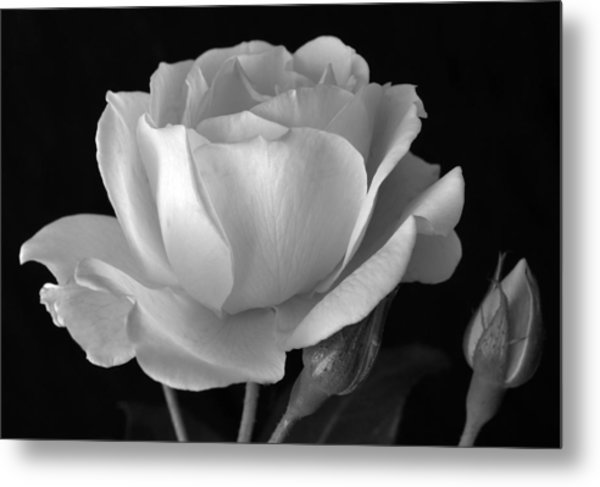White rose metal print by terence davis
