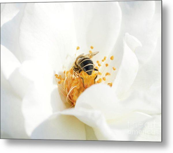 Looking For Gold In A White Rose Metal Print