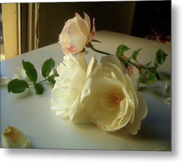 White Roses In Afternoon Light Metal Print