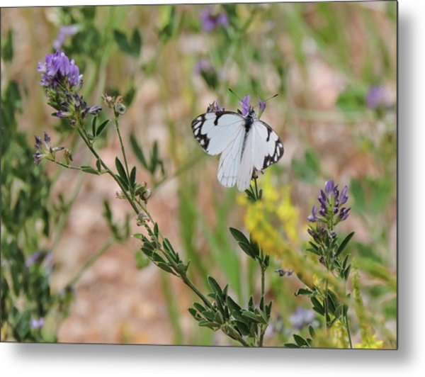 White-skipper On Lupine Metal Print