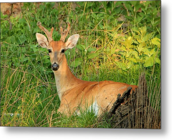 White-tail Buck Resting Metal Print