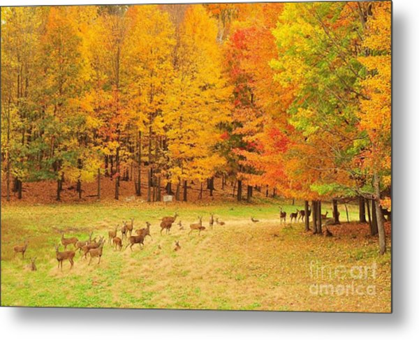 White Tail Deer Herd Metal Print