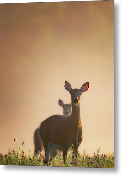 White-tailed Deer 2016 Metal Print