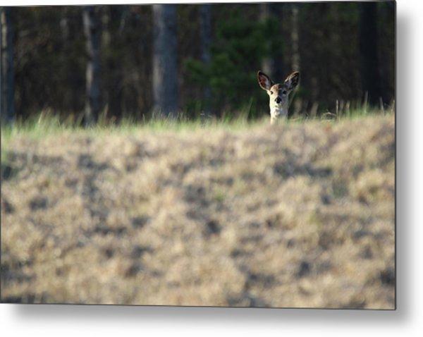 White Tailed Deer Calverton New York Metal Print