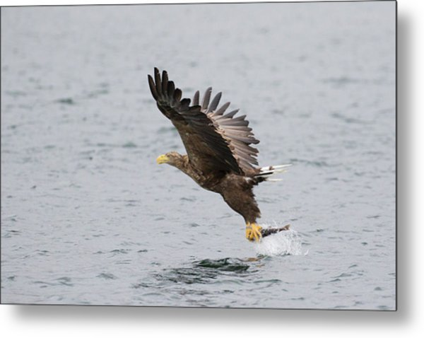 White-tailed Eagle Catching Dinner Metal Print