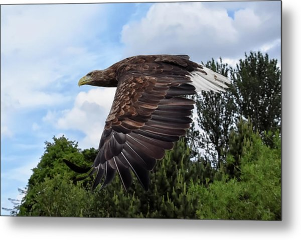 White Tailed Eagle Metal Print