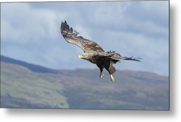White-tailed Eagle On Mull Metal Print