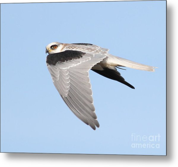 White-tailed Kite Hawk In Flight . 7d11110 Metal Print