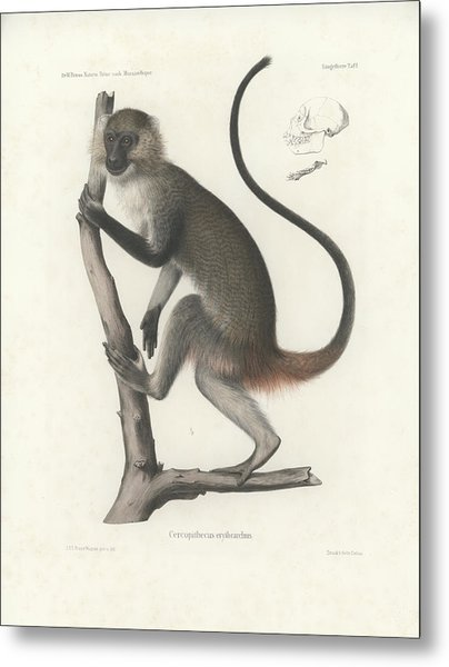 White Throated Guenon, Cercopithecus Albogularis Erythrarchus Metal Print