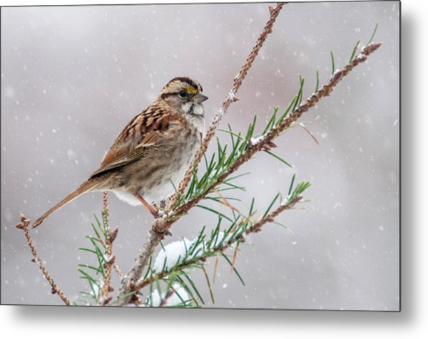 White Throated Sparrow Metal Print