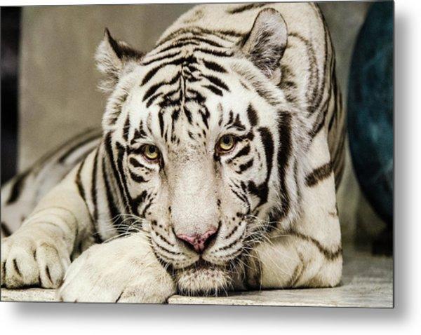 White Tiger Looking At You Metal Print