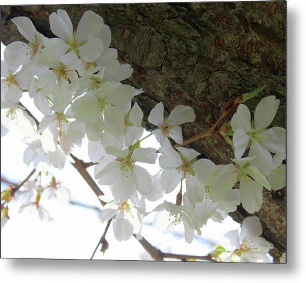 Dogwood Branch Metal Print