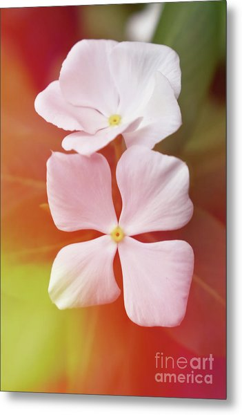 White Vinca With Vivid Highligts  Metal Print