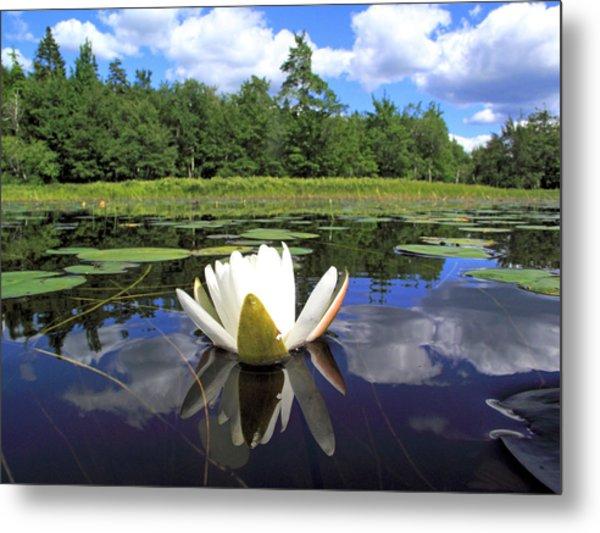 White Waterlily On A Lake Metal Print