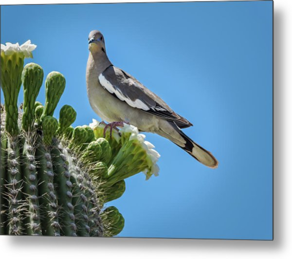 Metal Print featuring the photograph White Winged Dove On Cactus Flower by Penny Lisowski