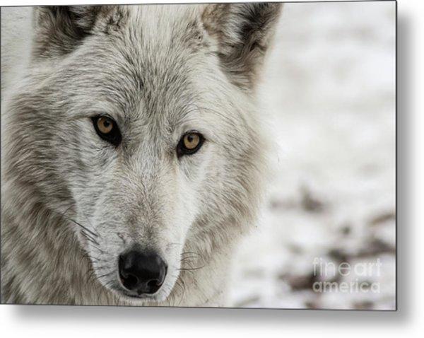 White Wolf II Metal Print