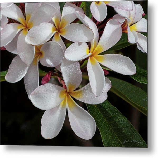 White/yellow Plumerias In Bloom Metal Print