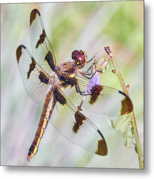Whitetail Dragonfly Metal Print
