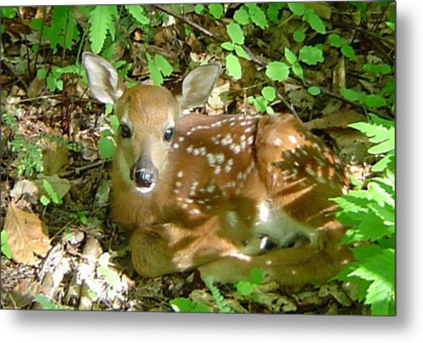 Whitetail Fawn II Metal Print