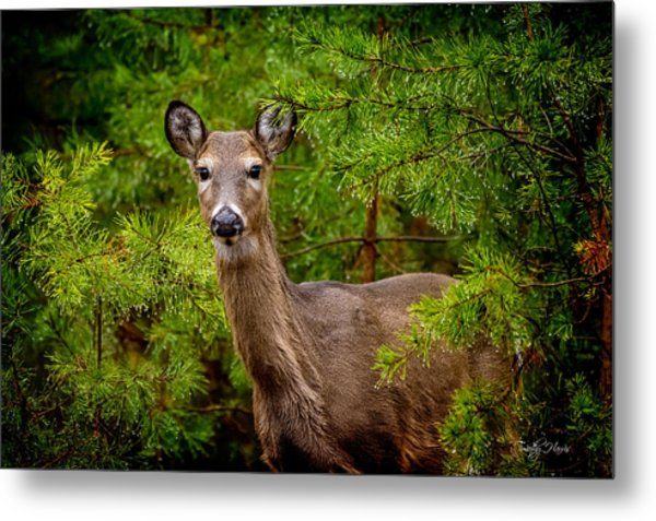 Whitetail In The Pines Metal Print