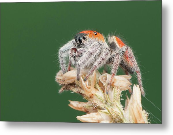 Whitman's Jumping Spider Metal Print by Derek Thornton