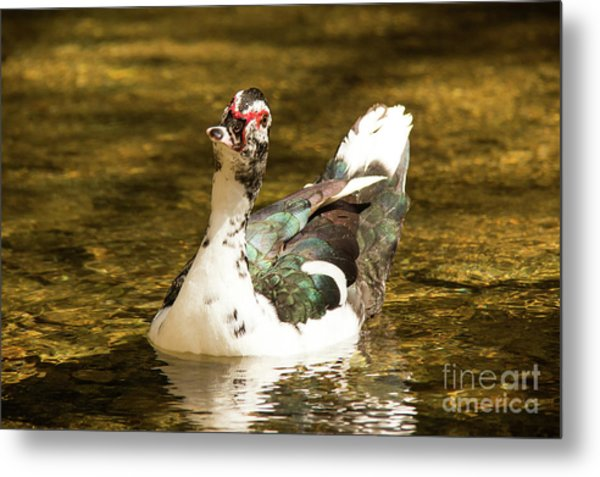 Who Me Wildlife Art By Kaylyn Franks Metal Print