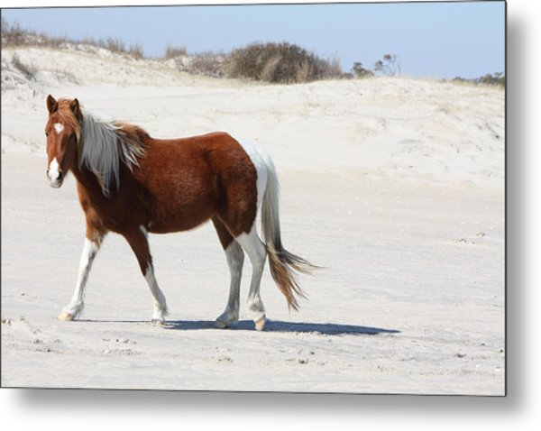 Wild Assateague Ponies 2 Metal Print