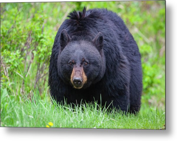 Wild Black Bear Metal Print