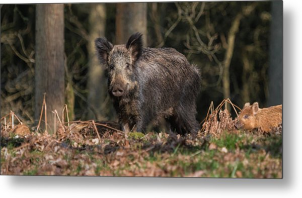 Wild Boar Sow And Young Metal Print