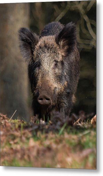 Wild Boar Sow Portrait Metal Print