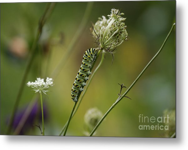 Wild Carrot Feast Metal Print