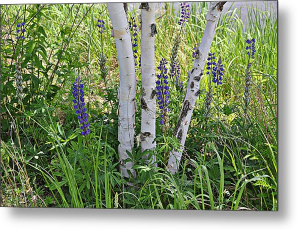 Wild Center Birches Metal Print