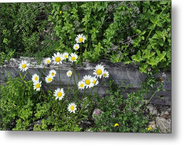 Wild Center Daises Metal Print