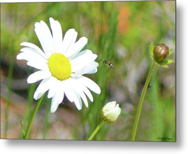 Wild Daisy With Visitor Metal Print