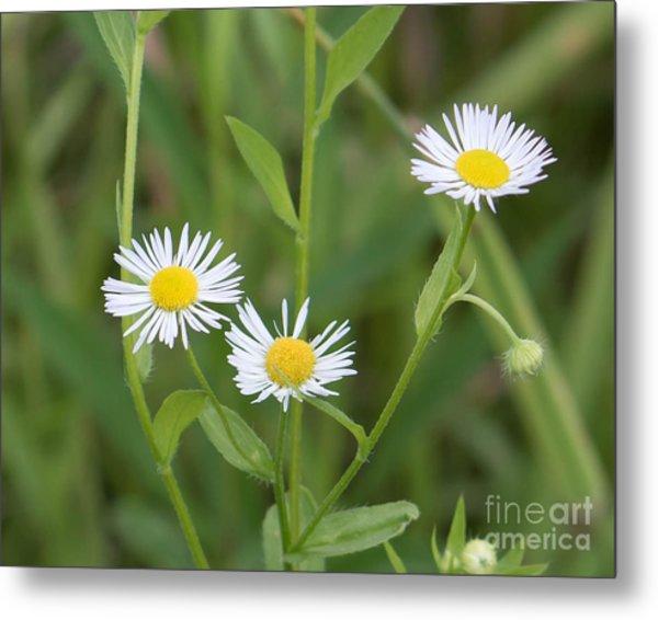Wild Flower Sunny Side Up Metal Print
