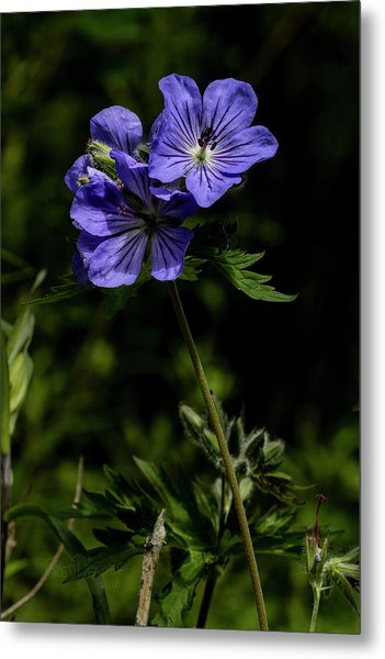 Metal Print featuring the photograph Wild Geraniums by Fred Denner