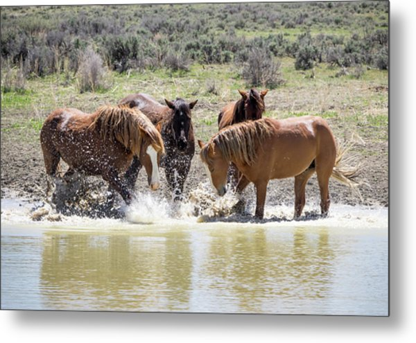 Wild Mustang Stallions Playing In The Water - Sand Wash Basin Metal Print