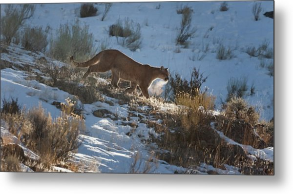 Wild Mountain Lion Running At First Light Metal Print