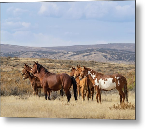 Wild Mustang Family Band In Sand Wash Basin Metal Print